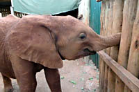 Little orphan elephant Mettie